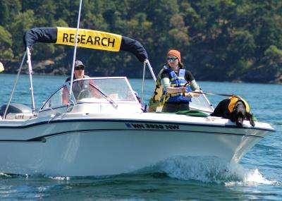 Tucker est en pleine action. Il a été dressé pour indiquer la position d'excréments d'orque afin qu'ils puissent être prélevés. Le chien ne va jamais à l'eau. Il est tenu en laisse par l'auteur principal de l'étude, Katherine Ayres. © Jeanne Hyde