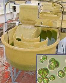 Muriellopsis : culture en laboratoire Crédits : OTT-CSIC Andalucía