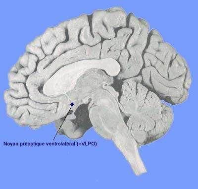 Le noyau VLPO se situe dans le cerveau. © acces.ens-lyon.fr