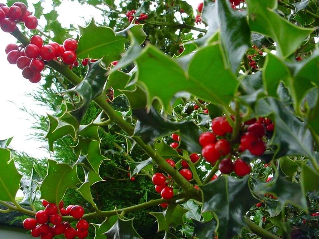 Les fruits du houx commun sont toxiques. © scherre, Flickr CC by nc nd 2.0