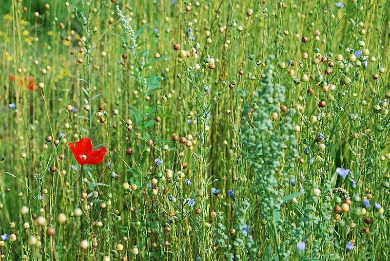 Chaque tige de lin se compose de 20 à 40 faisceaux comptant chacun 20 à 40 fibres végétales. Elles pourront dorénavant être utilisées dans l'industrie automobile. © Dpmm, Flickr, CC by-nc-nd 2.0