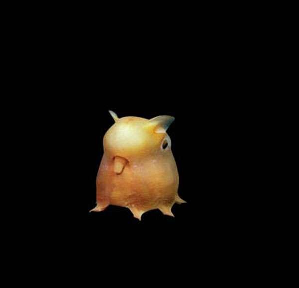 L'adorable poulpe Dumbo (Grimpoteuthis sp.)
