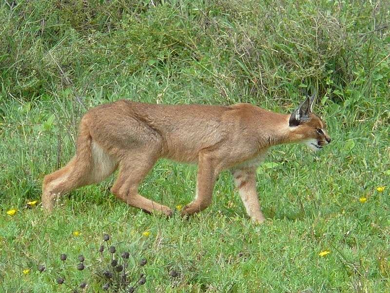 Caracal en chasse dans le Serengeti. © Nick & Melissa Baker, GNU FDL Version 1.2