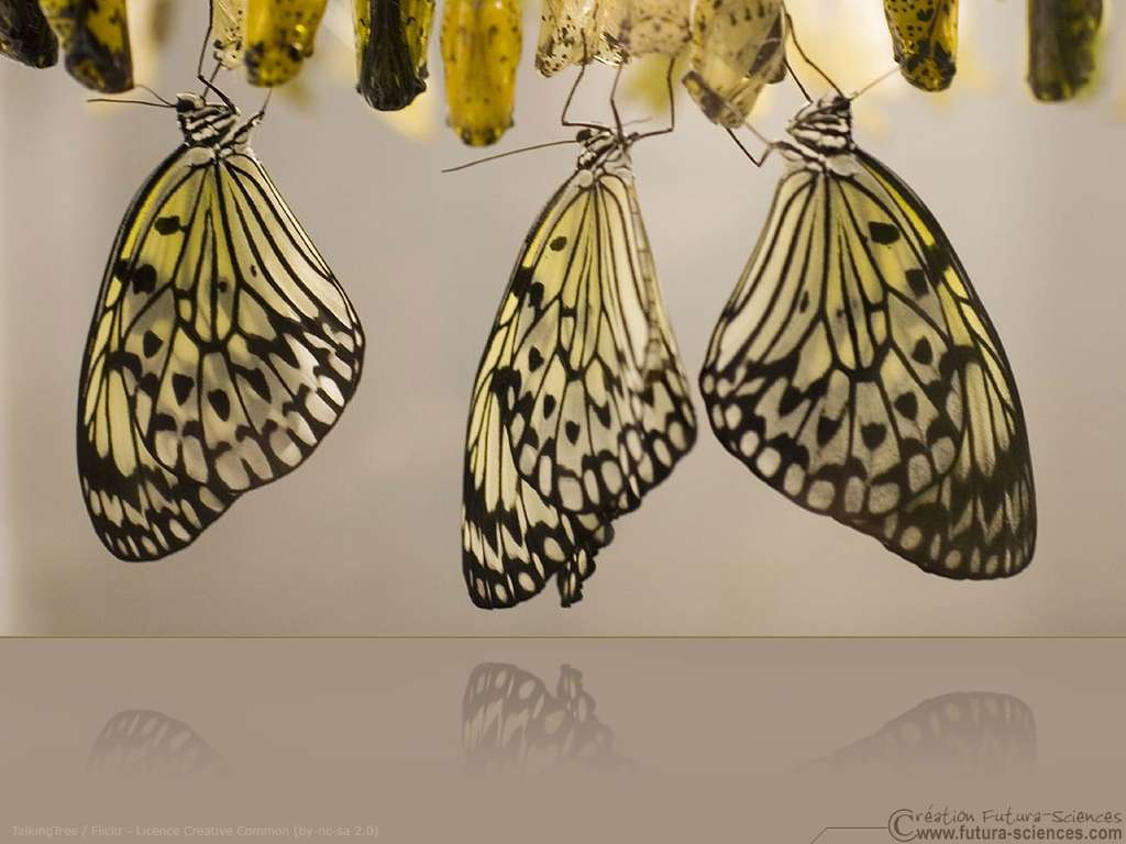 Papillon chrysalide