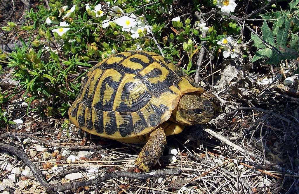 La tortue d'Hermann vit notamment dans le maquis. © Orchi, Wikipedia, CC by-sa 3.0