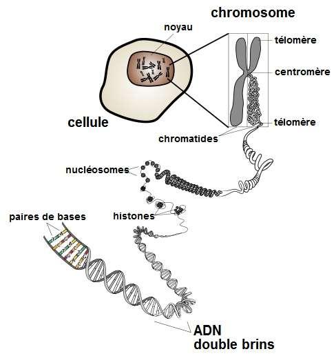 Schéma représentant l'ADN dans les chromosomes. © DP