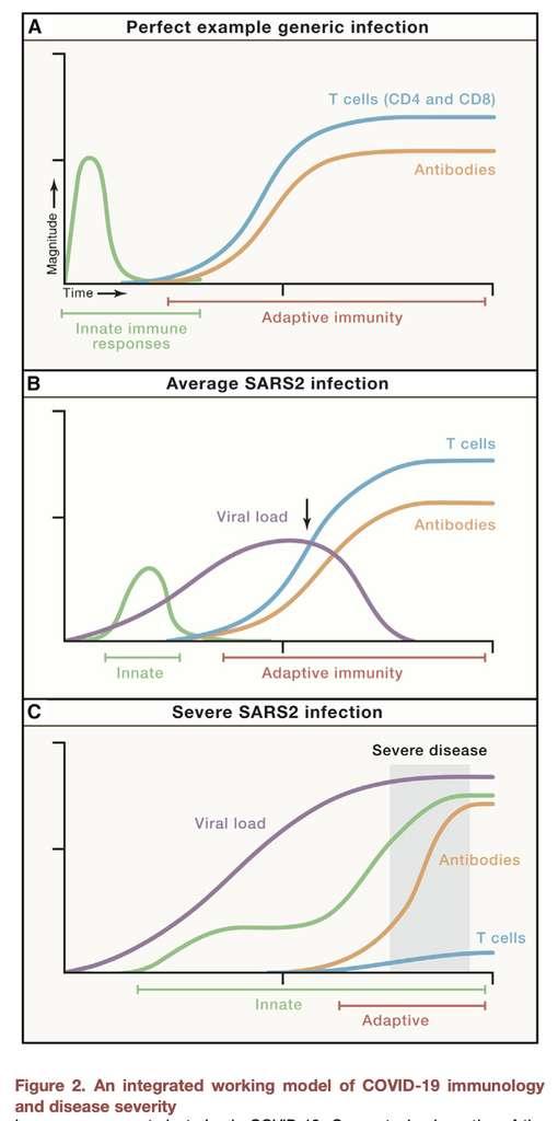 Le modèle unifié de la réponse immunitaire au SARS-CoV-2 proposé par les scientifiques. © Cell