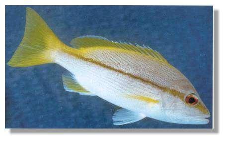 Les jaunets (Lutjanus vitta) sont souvent en bandes au dessus des patates de corail - Crédits Ern Grant