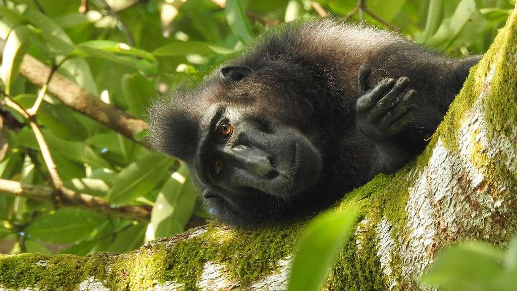 Le macaque nègre ou macaque des Célèbes