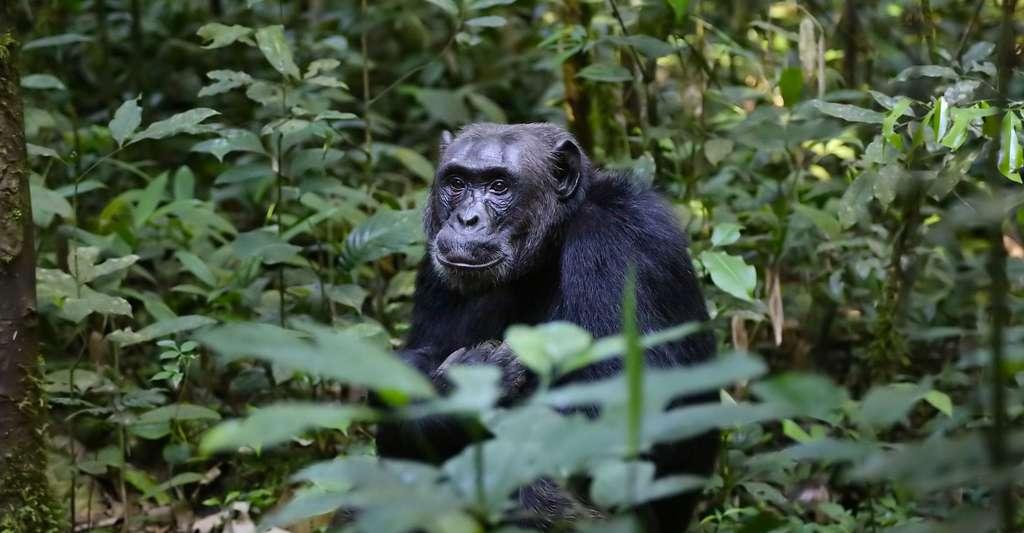 Protégeons les grands singes. © Gerritbril, Pixabay, DP
