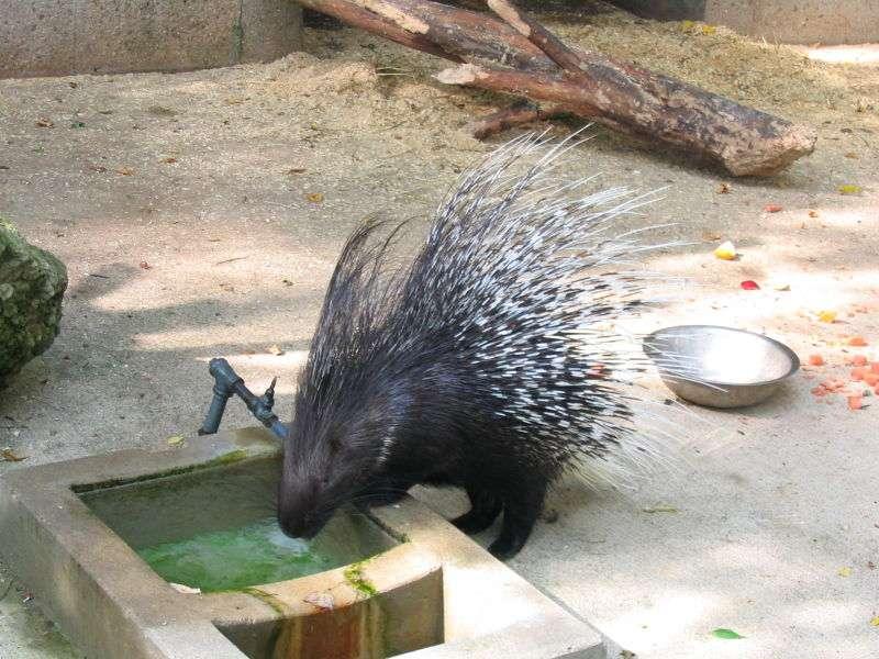 Le porc-épic à crête est la seule espèce rencontrée en Europe. © Dori, Wikipédia, GNU 1.2