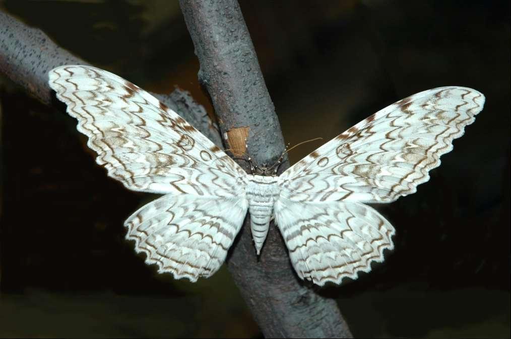 Le papillon Thysania agrippina est l'insecte qui a la plus grande envergure d'ailes au monde. ©Acrocynus
