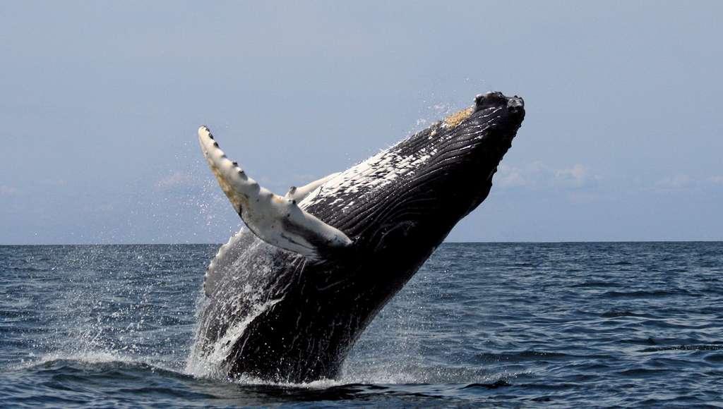 Des éoliennes imaginées à partir des nageoires des baleines