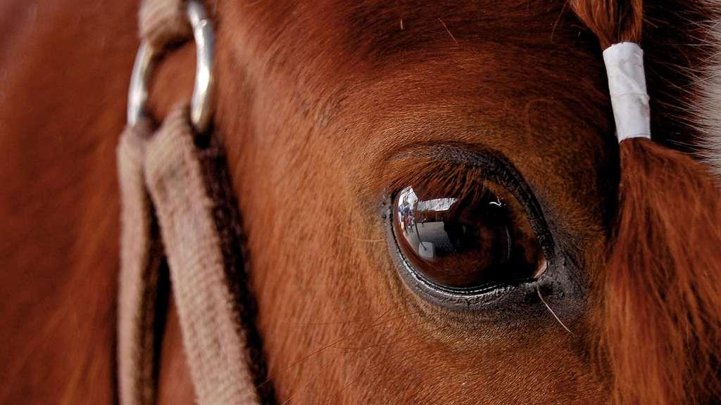 L'œil et la vision du cheval