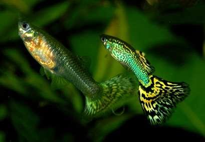 Le guppy est une espèce de poissons d'eau douce tropicale, d'une longueur de 3 à 6 cm. Il sait compter et d'apprendre certaines leçons... © GFDL, Wikipédia, GNU