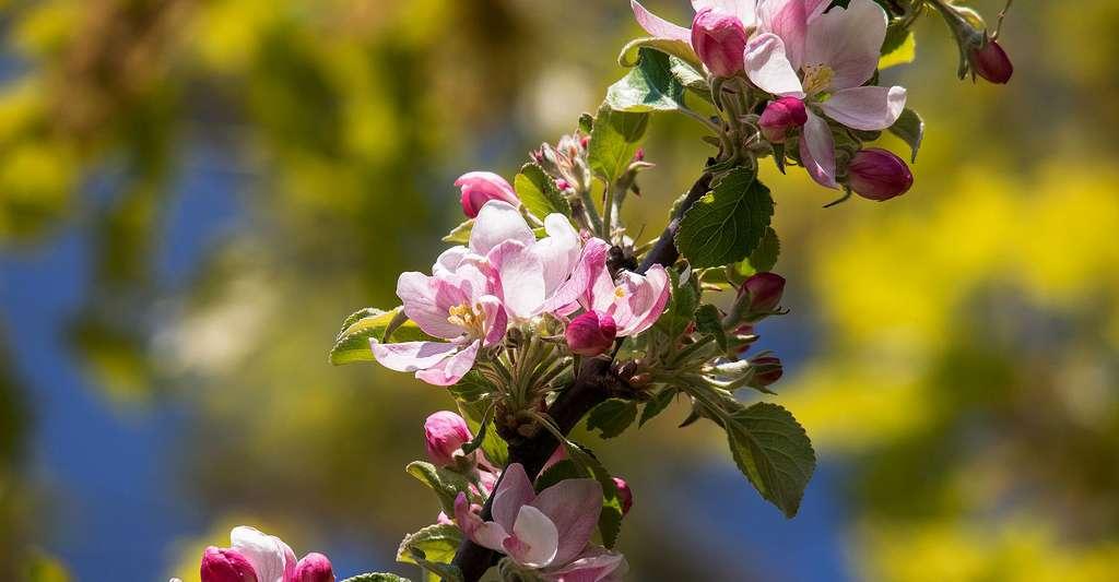 Fleurs de pommiers. © Didgeman, Pixabay, DP