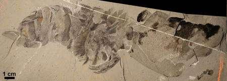 Cliquer pour agrandir. Hurdia victoria commence à révéler sa vraie nature sur ce fossile. Crédit : Allison Daley