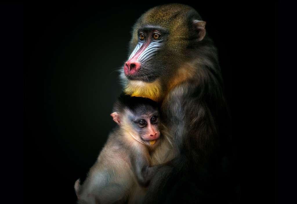 Le mandrill, un singe aux couleurs vives
