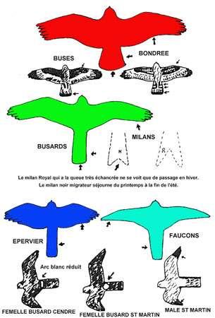 Silhouettes de rapaces. © Reproduction et utilisation interdites