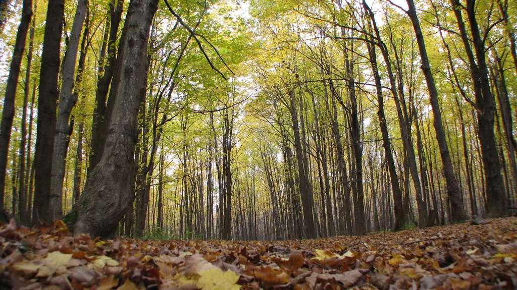 Les forêts jouent un grand rôle dans le cycle du carbone. Les processus d'échange de carbone entre l'atmosphère, la végétation et le sol sont la photosynthèse, la respiration autotrophe et la respiration hétérotrophe. La photosynthèse permet à la végétation d'absorber le CO2 de l'atmosphère. © douaireg, Flickr, by sa 2.0