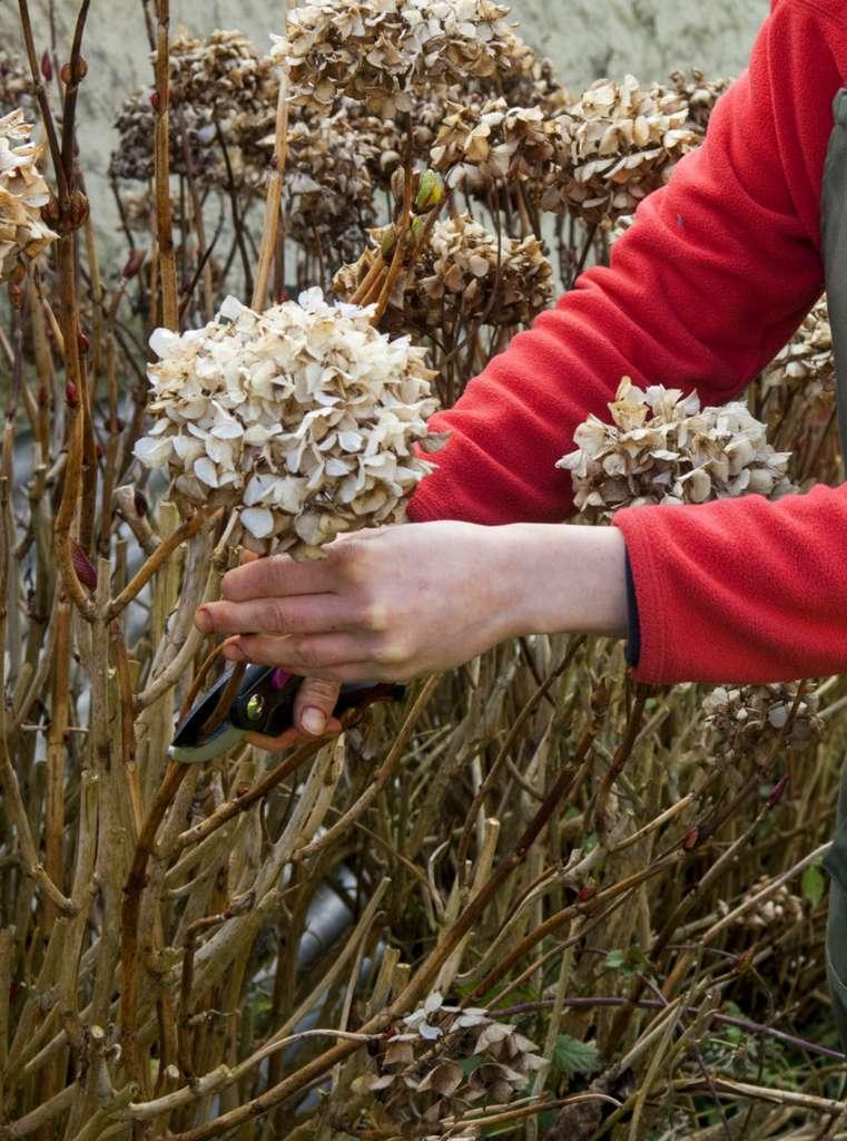 Les fleurs fanées de l'hortensia sont à couper à l'automne. © C. Hochet, Rustica