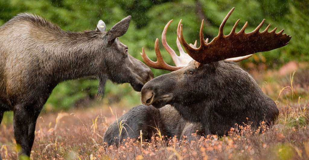 Caribou des bois. © Ryan Hagerty/USFWS, Wikimedia, CC by-nc 2.0