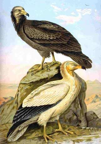 Neophron pernopterus (Vautour percoptère, Egyptian vulture). Collection NAUMANN.