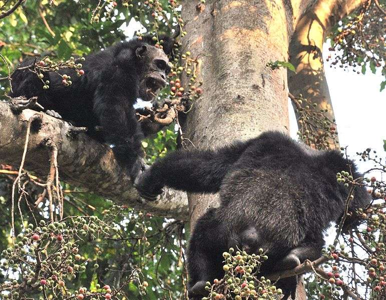 Chimpanzés mâles se chamaillant. © Caelio, CC by-SA 3.0