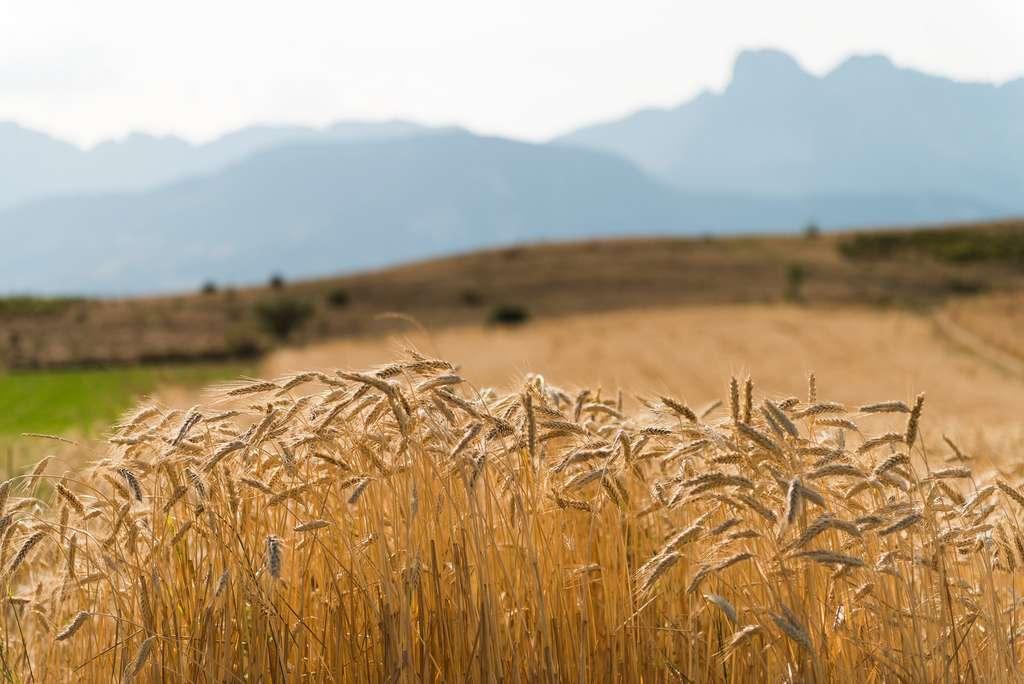 La France, grosse productrice de blé et de maïs, figure sur la liste des pays les plus touchés. © Damien Roué, Flickr