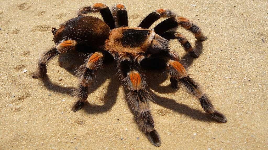 La mygale mexicaine, une araignée très attrayante