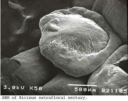 Nectar extrafloral en microscopie électronique. © DR