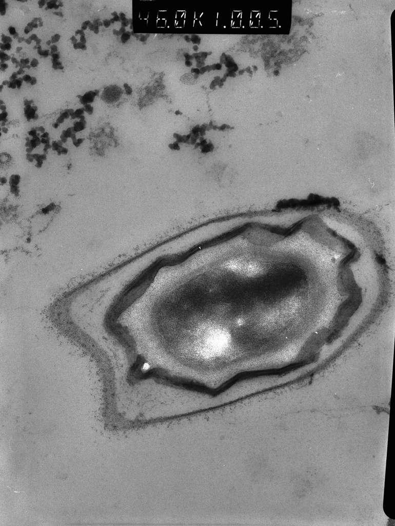 Une coupe de spore de Bacillus cereus en microscopie électronique. Le cœur de la spore est déshydraté et riche en minéraux. Il contient l'ADN de la cellule. La spore de la bactérie est une des formes de vie les plus résistantes. © Isabelle Bornard / R. Allouane/Inra