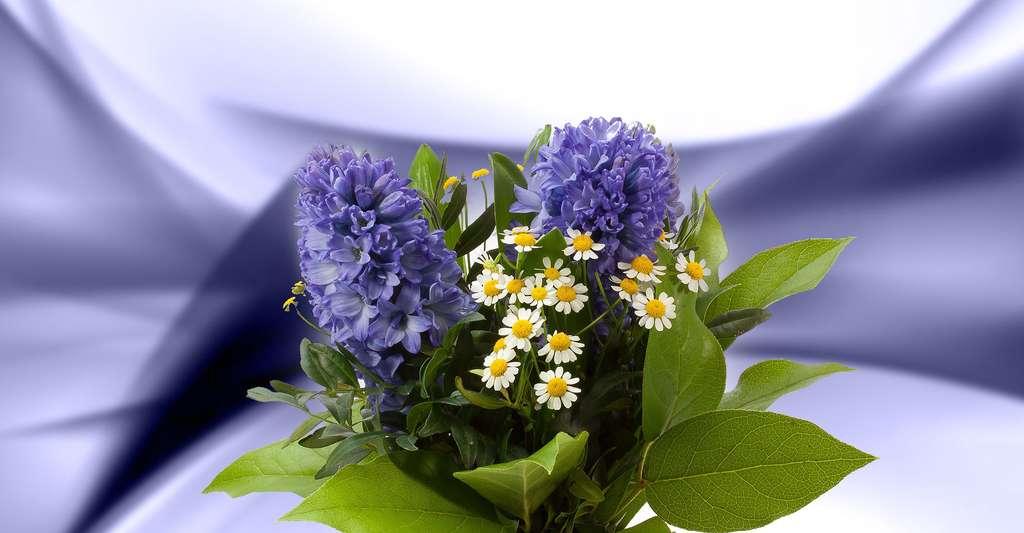 La jacinthe, reine de la fleur à bulbe très odorante. © Stux, Pixabay, DP