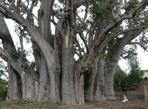 Le baobab de Warang, de plus de 30 m de circonférence, montre une structure complexe laissant supposer la présence de plusieurs baobabs fusionnés. © Sébastien Garnaud