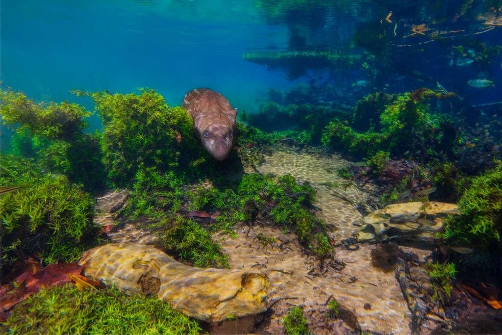 Jamais auparavant un bébé tapir n'avait été photographié complètement immergé. Ce cliché montre l'excellente hydrodynamique de l'animal, la forme de sa tête qui lui permet de se déplacer rapidement sous l'eau. © Marcio Cabral, Tous droits réservés, Reproduction interdite