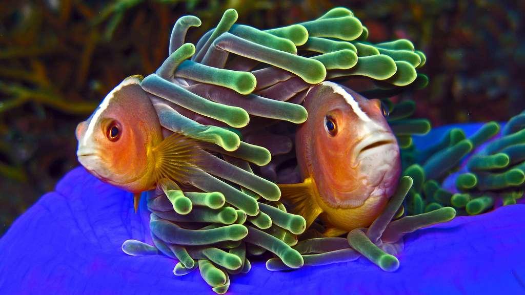 Le poisson-clown ne craint pas se frotter à l'anémone