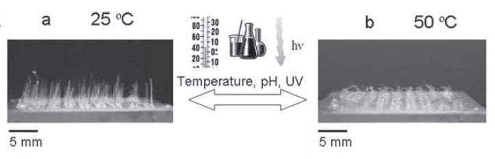 Les cils changent de morphologie après l'application de conditions environnementales différentes (température, pH, ultraviolets), de manière réversible. © Advanced Functional Materials