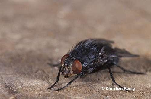 Calliphora vicina, mouche à viande femelle © C. König Reproduction et utilisation interdites