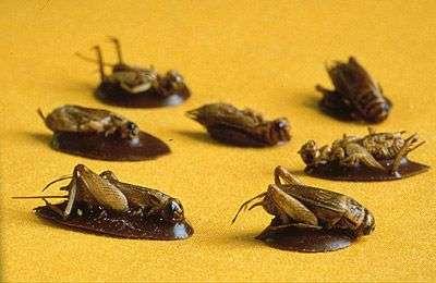Grillons au chocolat. Crédit : Insectarium de Montréal