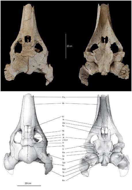 Vues dorsale (à gauche) et ventrale (à droite) du crâne d'Ocepechelon bouyai, une tortue du Crétacé mise au jour au Maroc. On distingue son museau tubulaire. © Bardet et al., Plos One, 2013