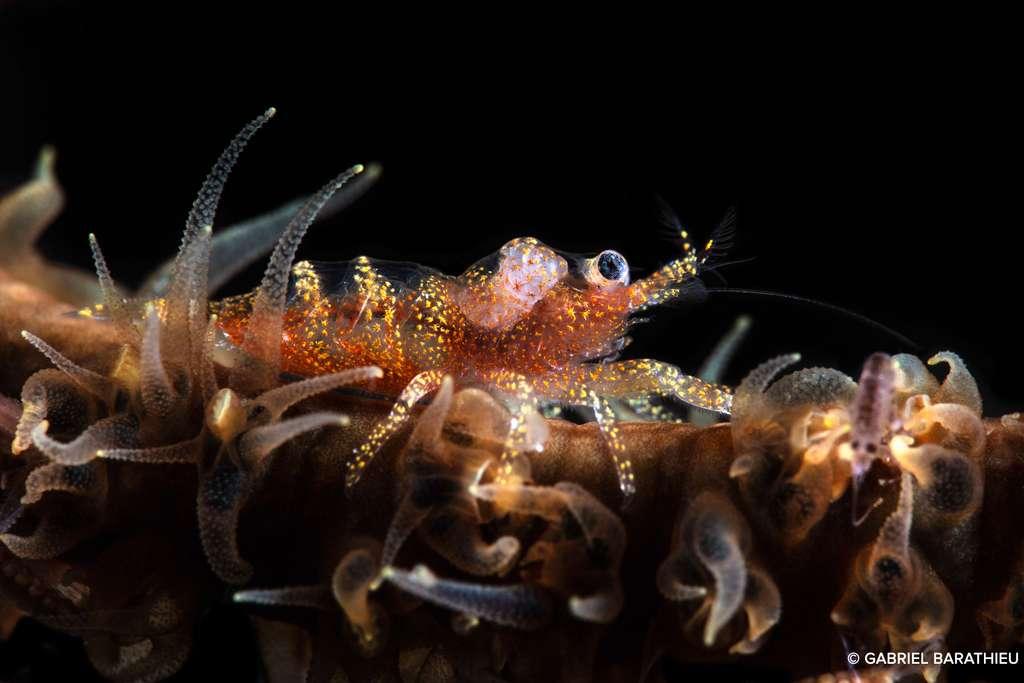 La minuscule crevette de Zanzibar