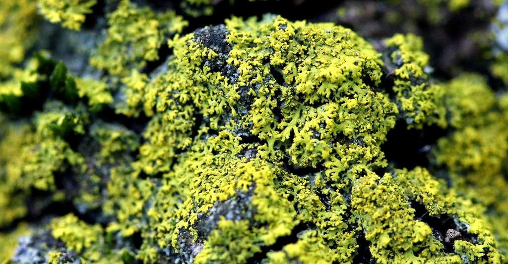 Les lichens peuvent avoir de vives couleurs, comme ici avec Candelaria concolor. © Yannick Agnan - Tous droits réservés