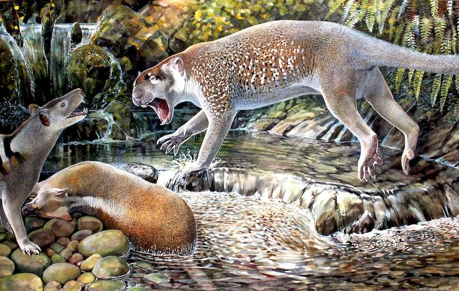 Une illustration du lion marsupial Wakaleo schouteni, qui vivait il y a 23 millions d'années. © Peter Schouten