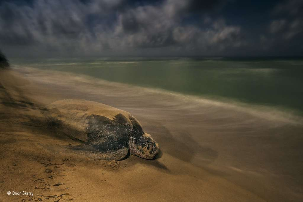 Une tortue luth regagne la mer après avoir enfoui sa ponte. © Brian Skerry, 2017 Wildlife Photographer of the Year