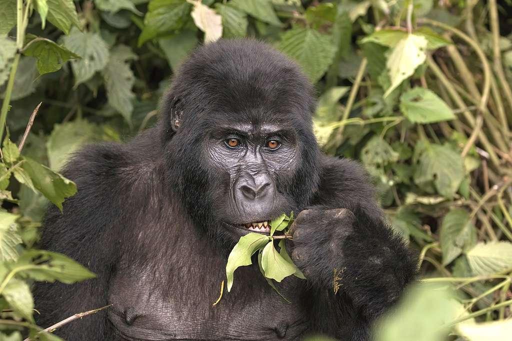 Gorille de montagne (Gorilla beringei beringei), Groupe Mubare, Ouganda. La forêt de « Bwindi Impénétrable » abrite près de la moitié des gorilles de montagne restants dans le monde. © Charles J. Sharp, Wikimedia commons, CC 4.0