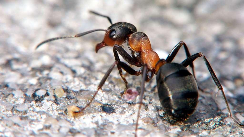 La fourmi rousse des bois