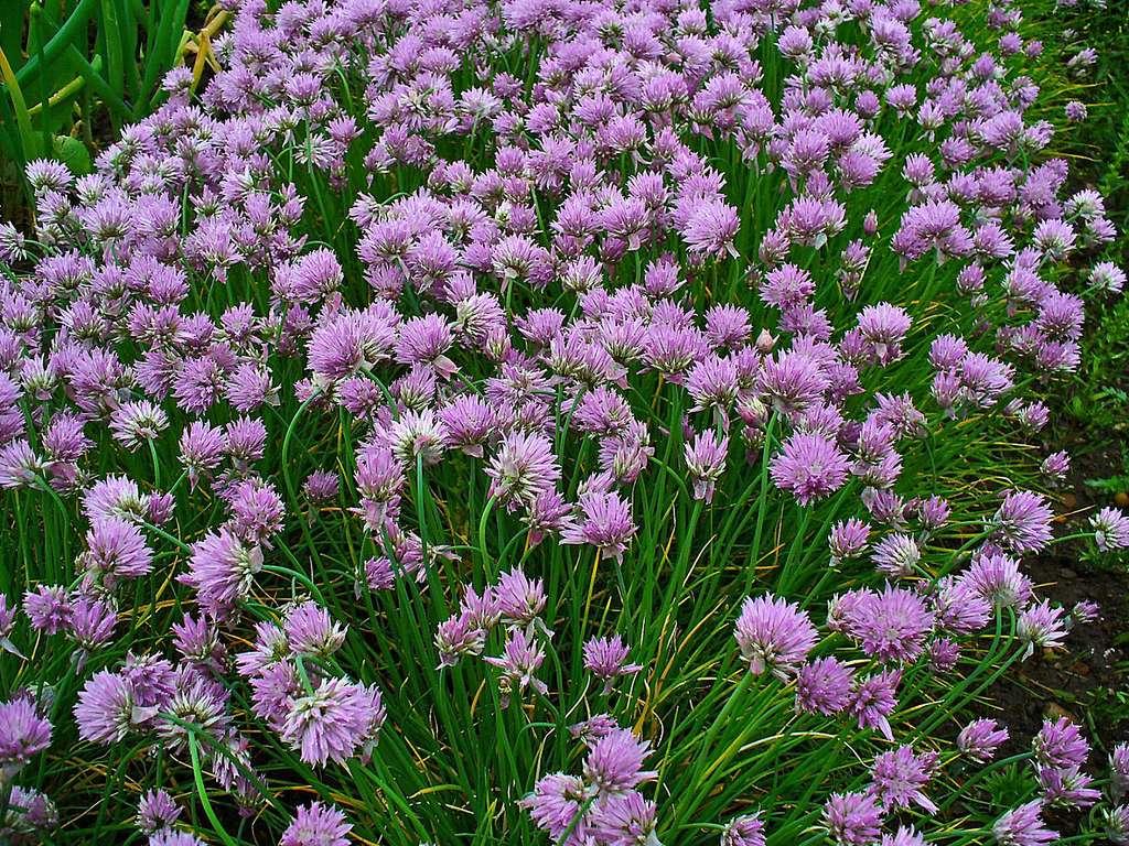 Fleurs de ciboulette. © H. Zell, CC by-nc 3.0