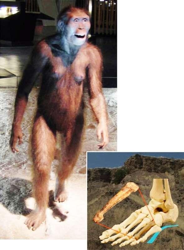 À gauche, la reconstruction de Lucy au Musée scientifique CosmoCaixa de Barcelone, en Espagne. À droite, la position du quatrième métatarsien trouvé à Hadar. © Musée scientifique CosmoCaixa de Barcelone/Carol Ward et Kimberly Congdon