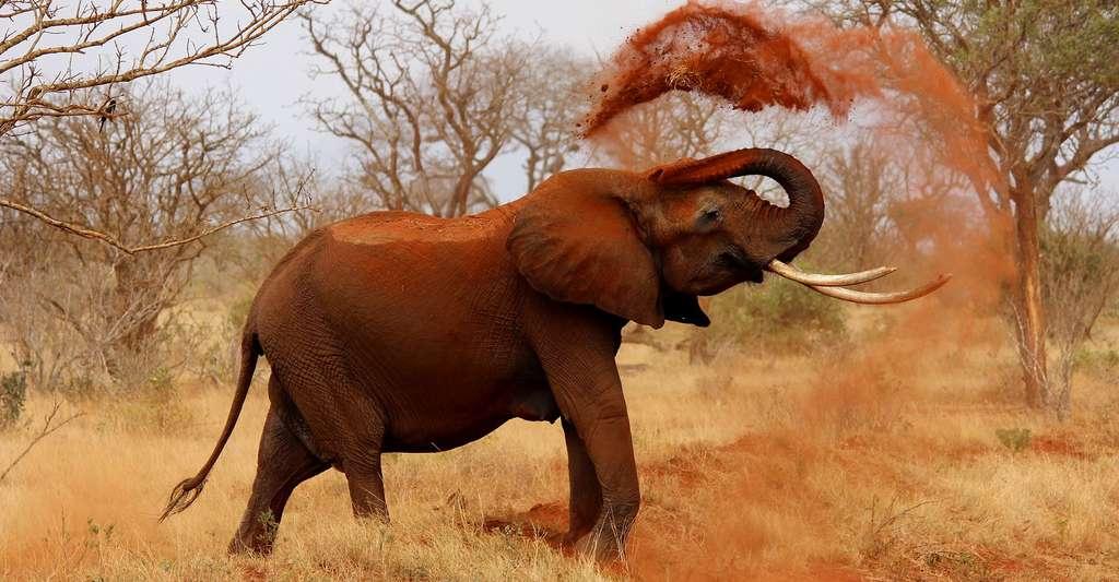 Eléphant d'Afrique. © Kikatanin, Domaine public