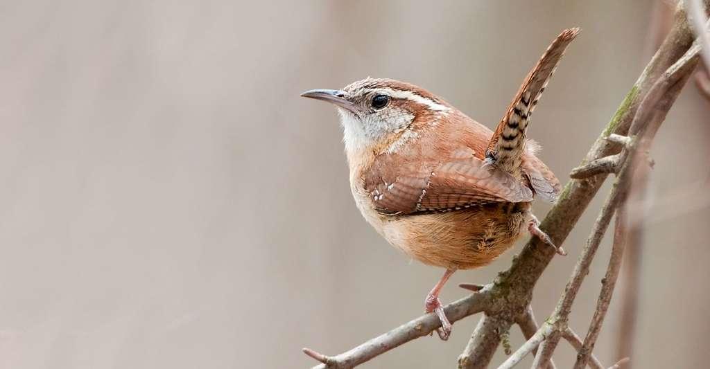 Les oiseaux ont des dialectes, mais sont-ils d'ordre culturel ? Ici, le troglodyte de Caroline (Thryothorus ludovicianus). © Kelly Colgan Azar, CC by-nc 2.0